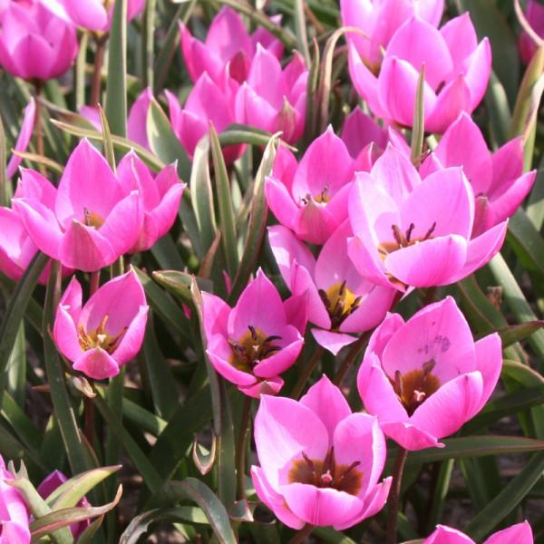 Tulpen humilis Helene