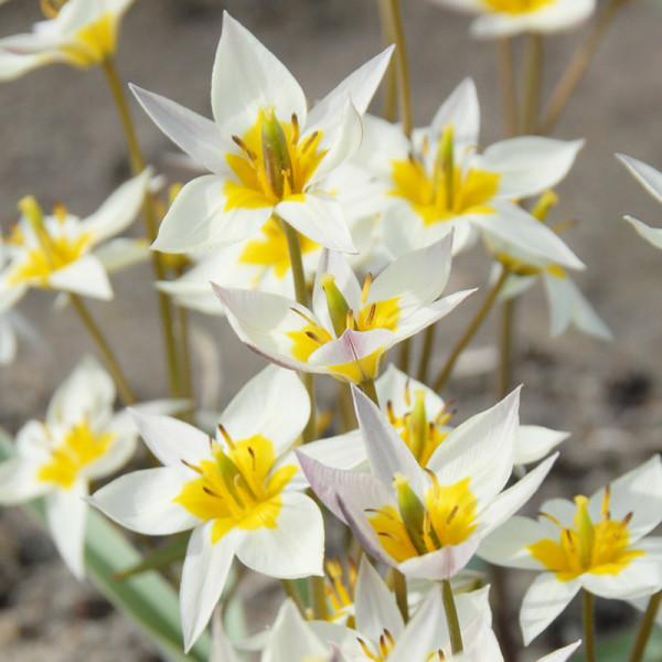 Tulpe turkestanica