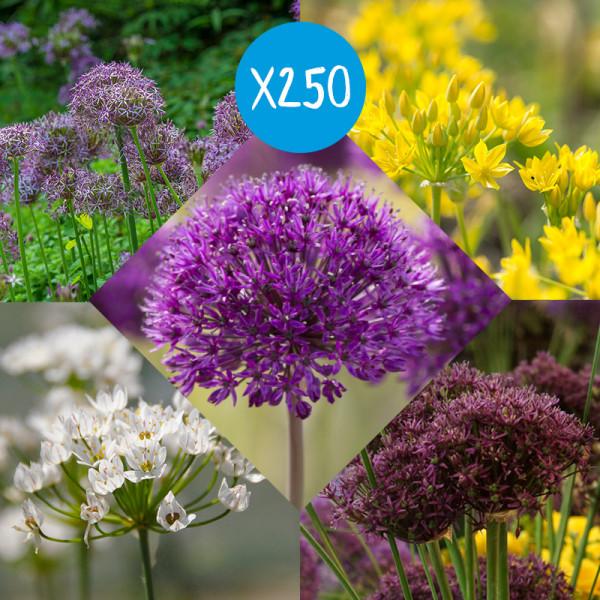 Blumenzwiebel Paket Alliums à 250