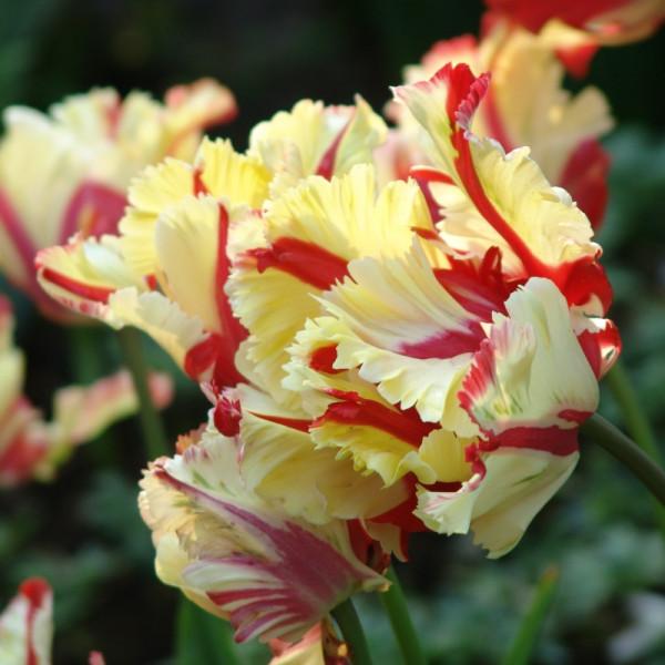 Tulpen Flaming Parrot