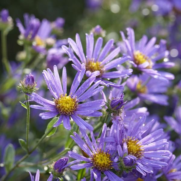 Aster 'Wood's Purple'