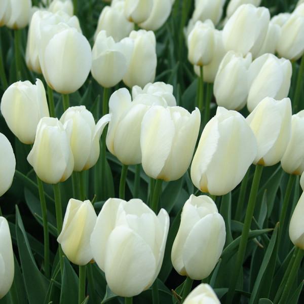 Großpackung Tulpen Pay Bas®