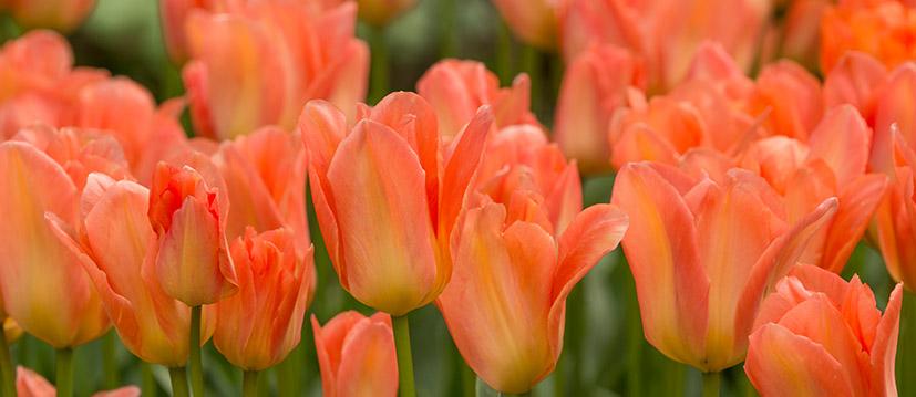 Fosteriana-Tulpen