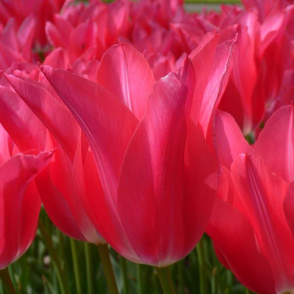 Tulpe Mariette