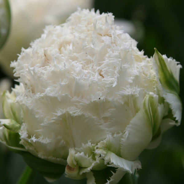 Tulpen Snow Crystal