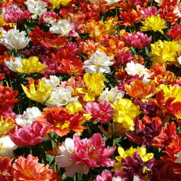 Tulpen Doppel Mischung