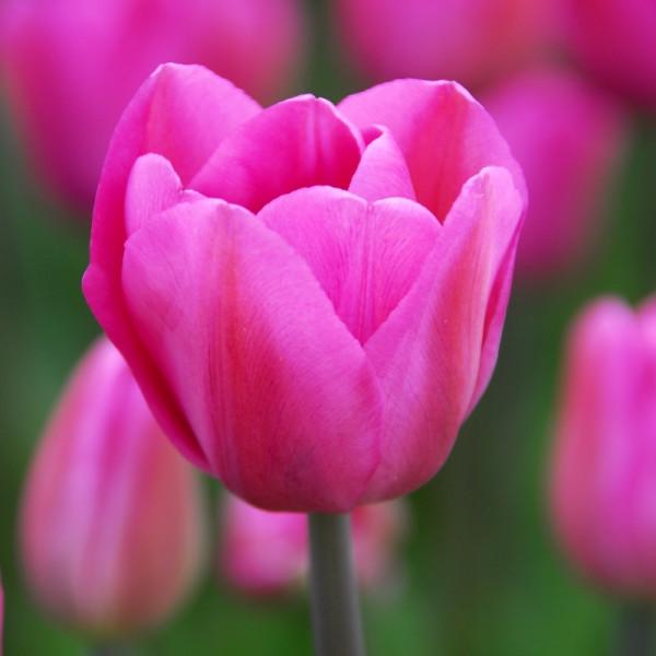 Tulpen Don Quichotte