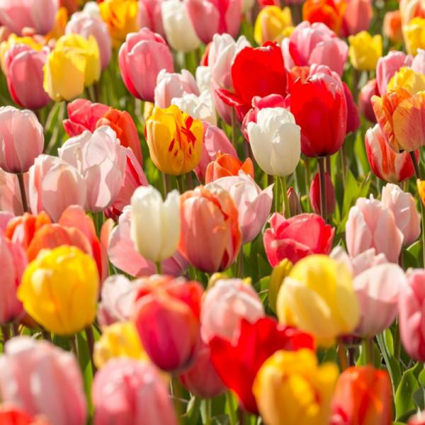 Großpackung Tulpen Darwin Hybrid Mix