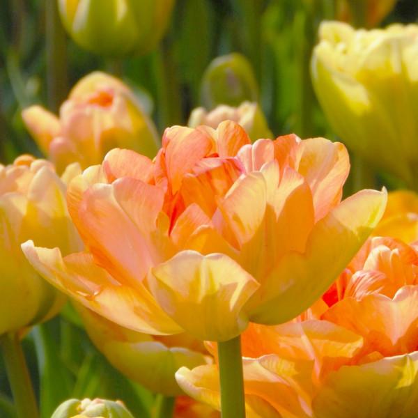 Tulipa Charming Lady