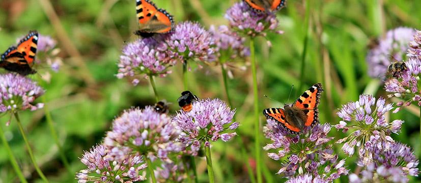 Bienen- und Schmetterling lockend