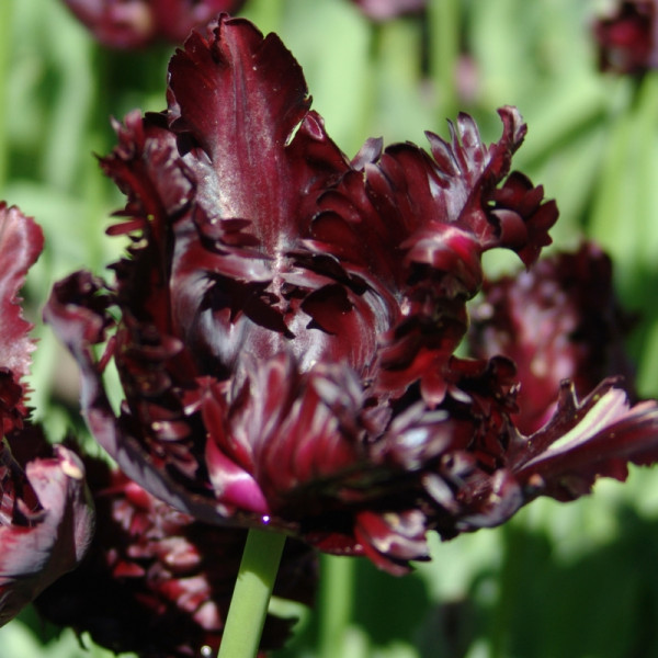 Tulpen Black Parrot