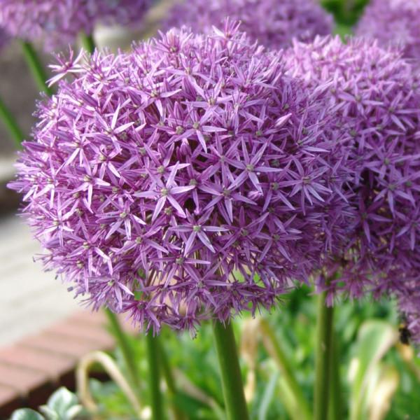 Allium Pinball Wizard