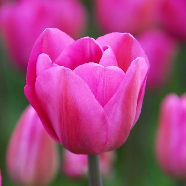Großpackung Tulpen Don Quichotte