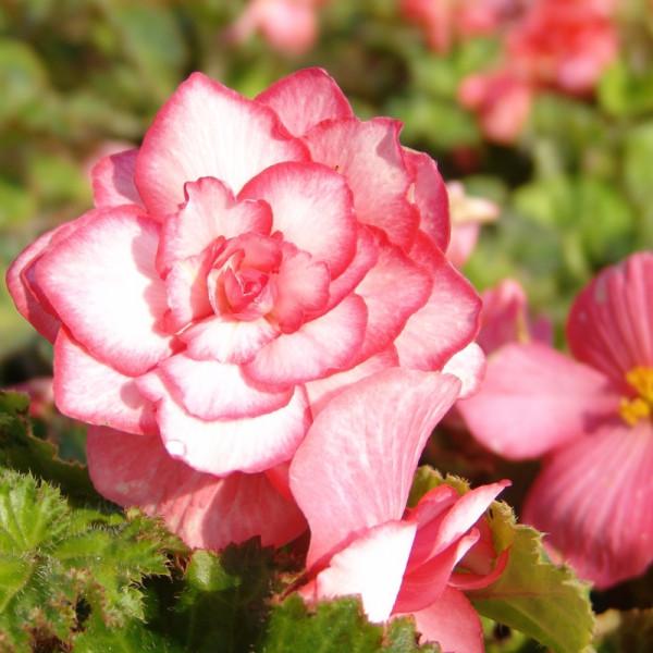 Begonie Bouton de Rose