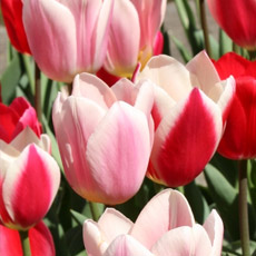 Alles-Over-Tulpen-fosteriana