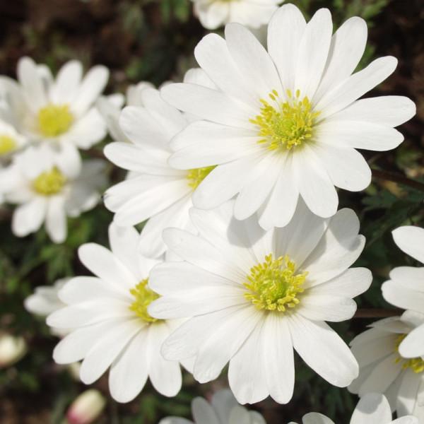 Anemonen White Splendour