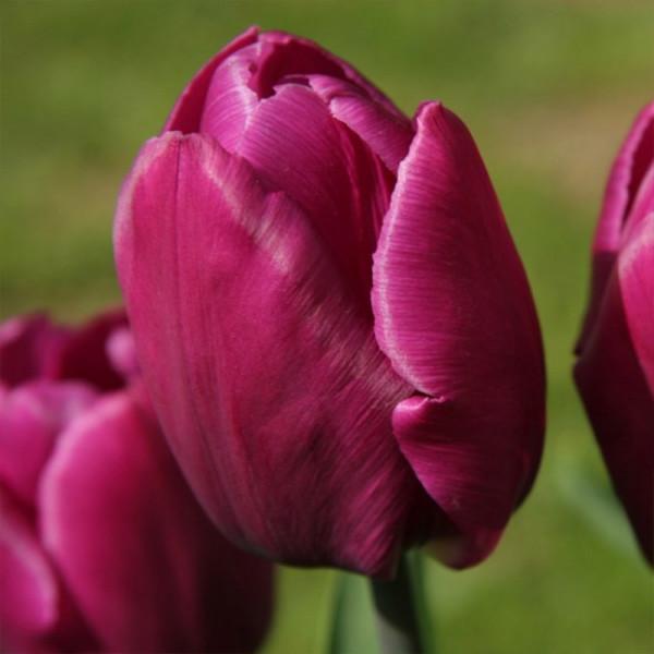 Großpackung Tulpen Purple Prince®