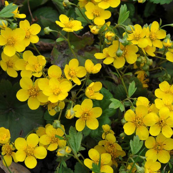Waldsteinie (Waldsteinia) ternata