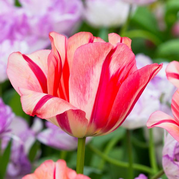 Tulpe Spryng Break
