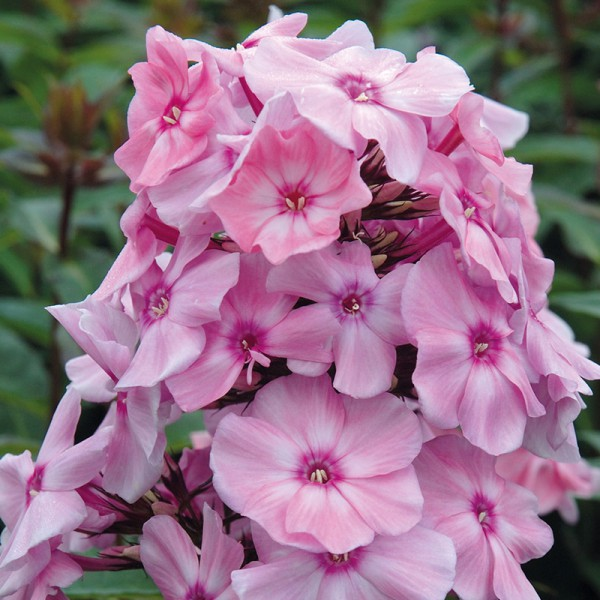 Phlox (P) 'Sw. Summer Fragrance'