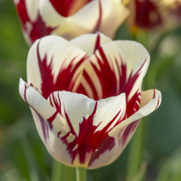 Tulp Grand Perfection
