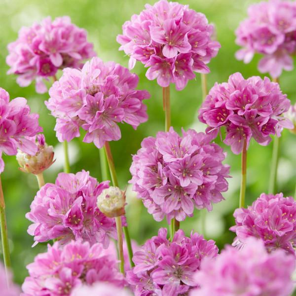 Grasnelke (Armeria) 'Ballerina Lilac'