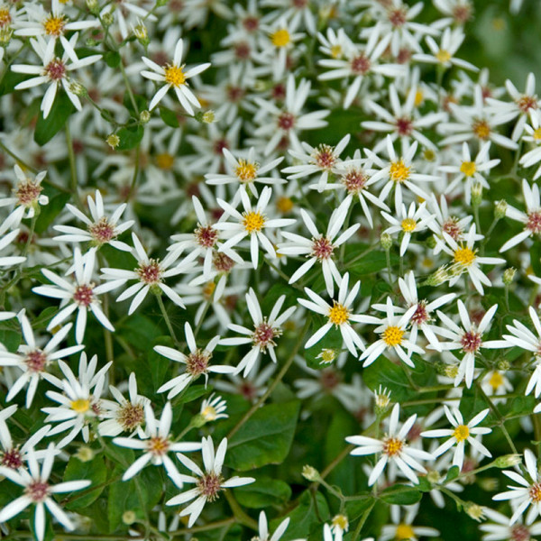 Wieße Waldaster divaricatus