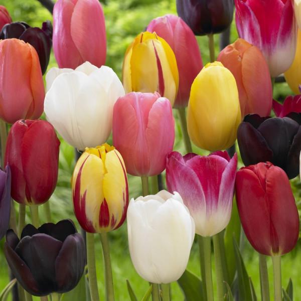 Tulpen Spät blühende Mischung