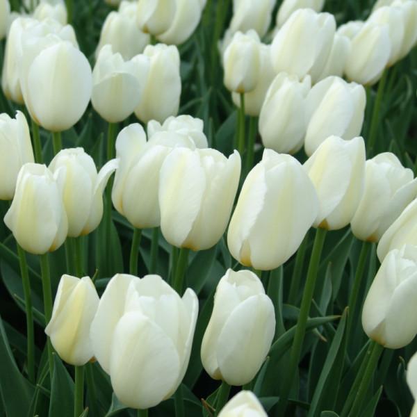 Tulpen Pays Bas