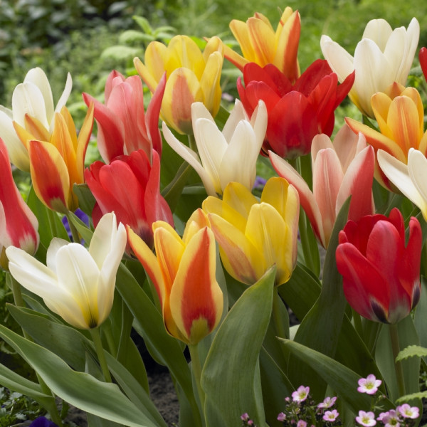 Tulpen Early Flowering Mischung