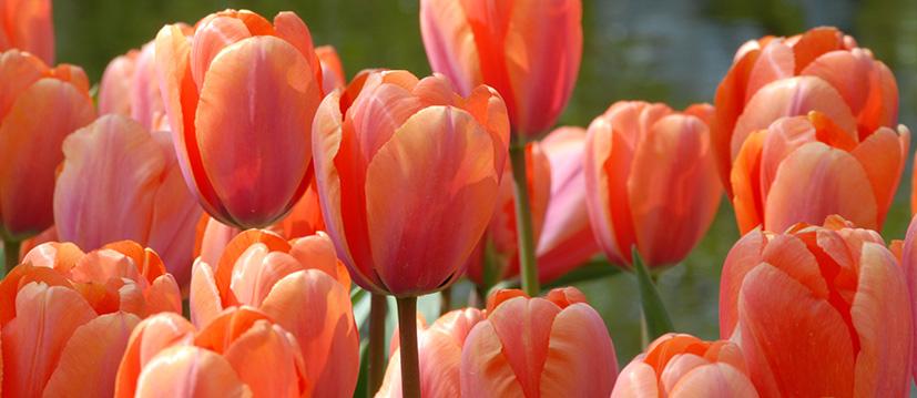 Darwin-Hybrid-Tulpen
