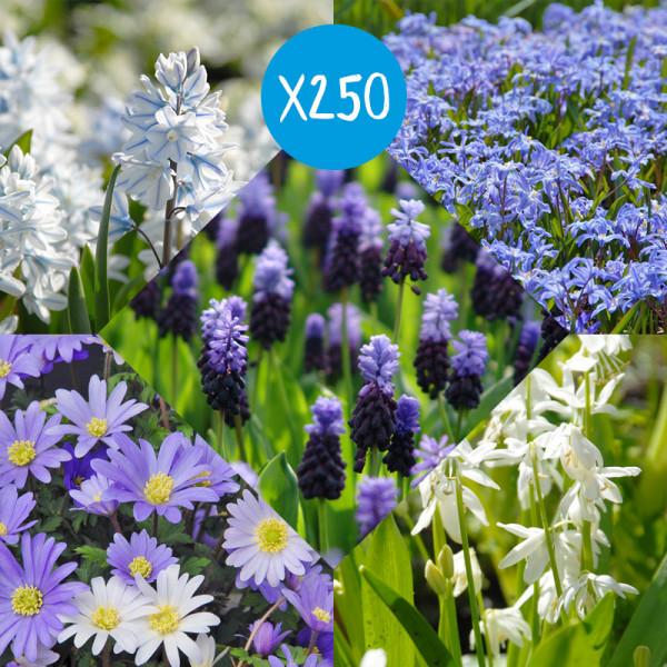 Blumenzwiebelpaket Delfts Blauw, à 250