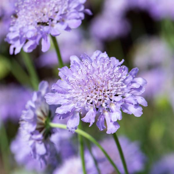 Grundkraut (Scabiosa col.) 'Butterfly Blue'