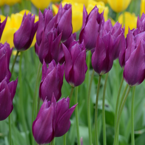 Tulpe Purple Dream