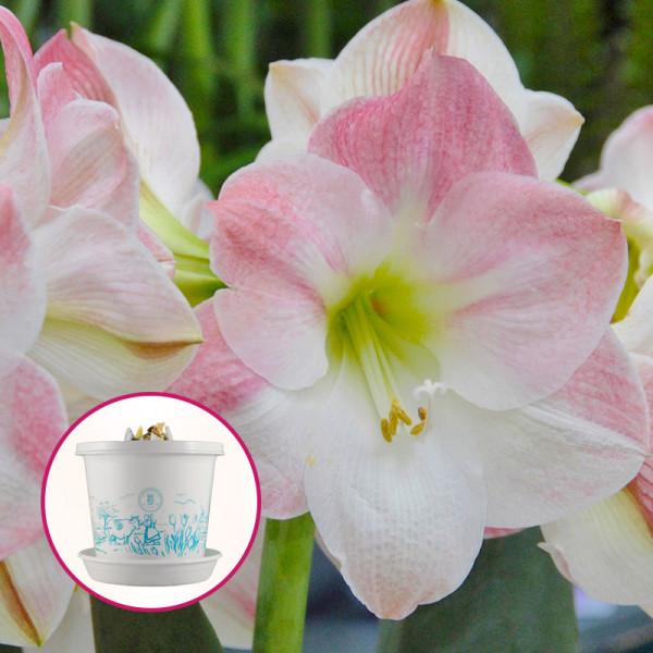 Amaryllis Apple Blossom im Zuchttopf in Geschenkbox