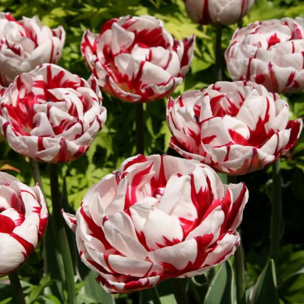Tulpen Carnaval de Nice