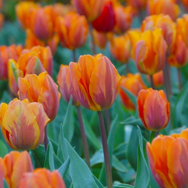 Großpackung Tulpen Prinses Irene