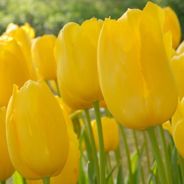 Tulp Roi du Midi