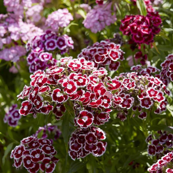 Federnelke (Dianthus barbatus)