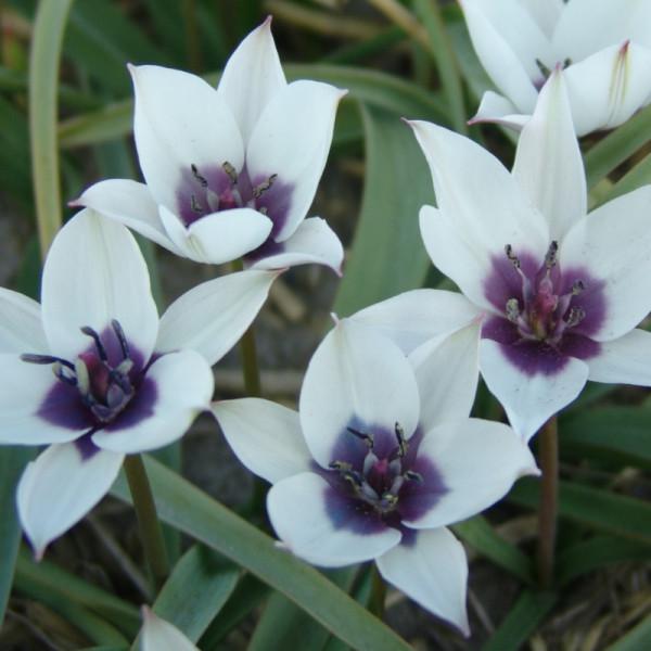 Tulpen humilis Alba Coerulea Oculata