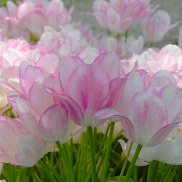 Tulpe Candy Club