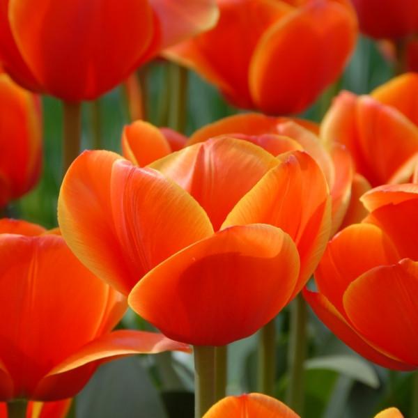 Tulpen Ad Rem