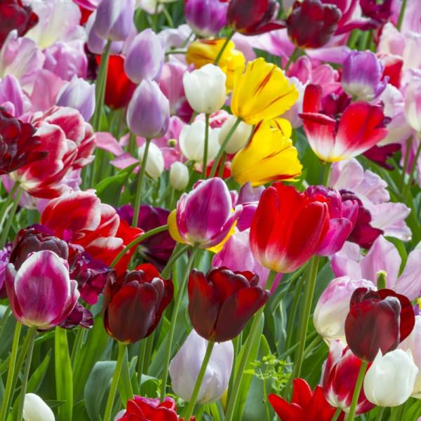 Tulpen Triumph Mischung