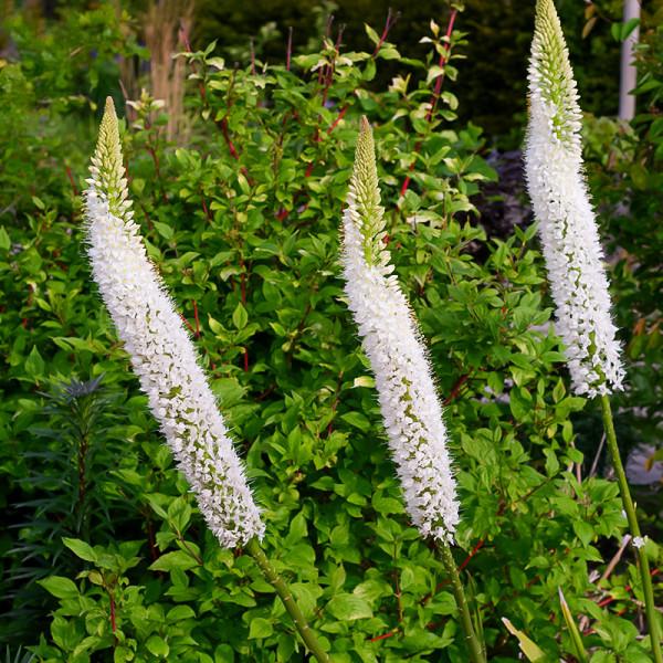 Eremurus White Beauty Favourite