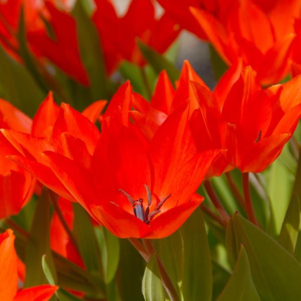 Tulpen praestans Fusilier
