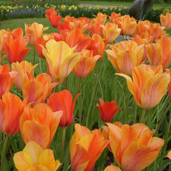 Tulipa El Nino