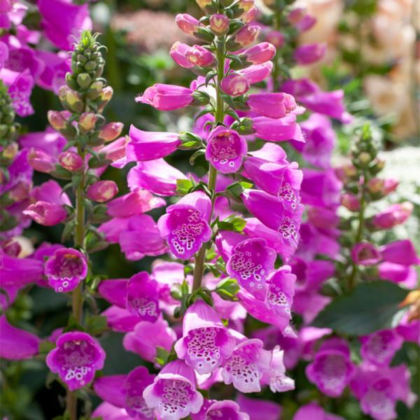 Fingerhut (Digitalis) 'Dalmatian Purple'