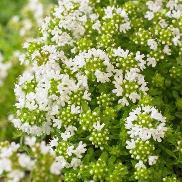 Thymian (Thymus praecox) 'Albiflorus'