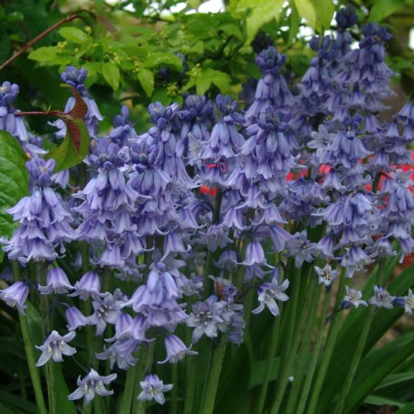 Hyacinthenhoides Excelsior