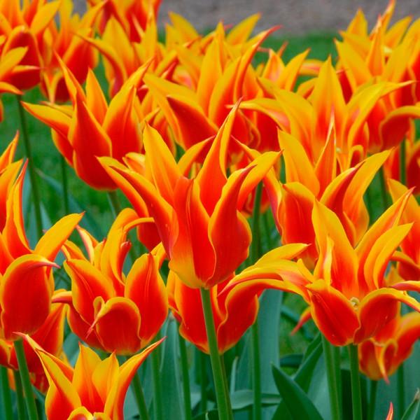 Tulpen Fly Away